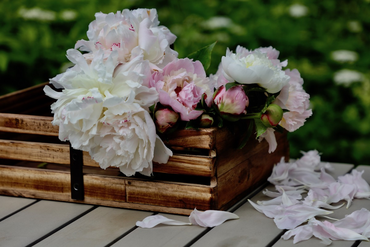 peonies cutflowers in a wooden trug