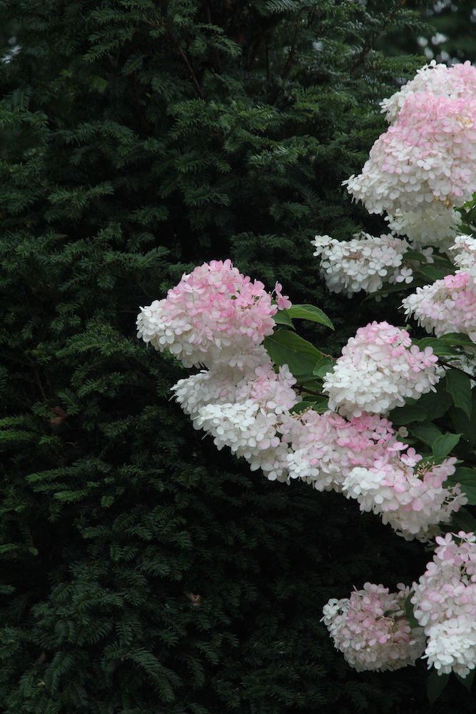 pink tipped white hydrangea bush