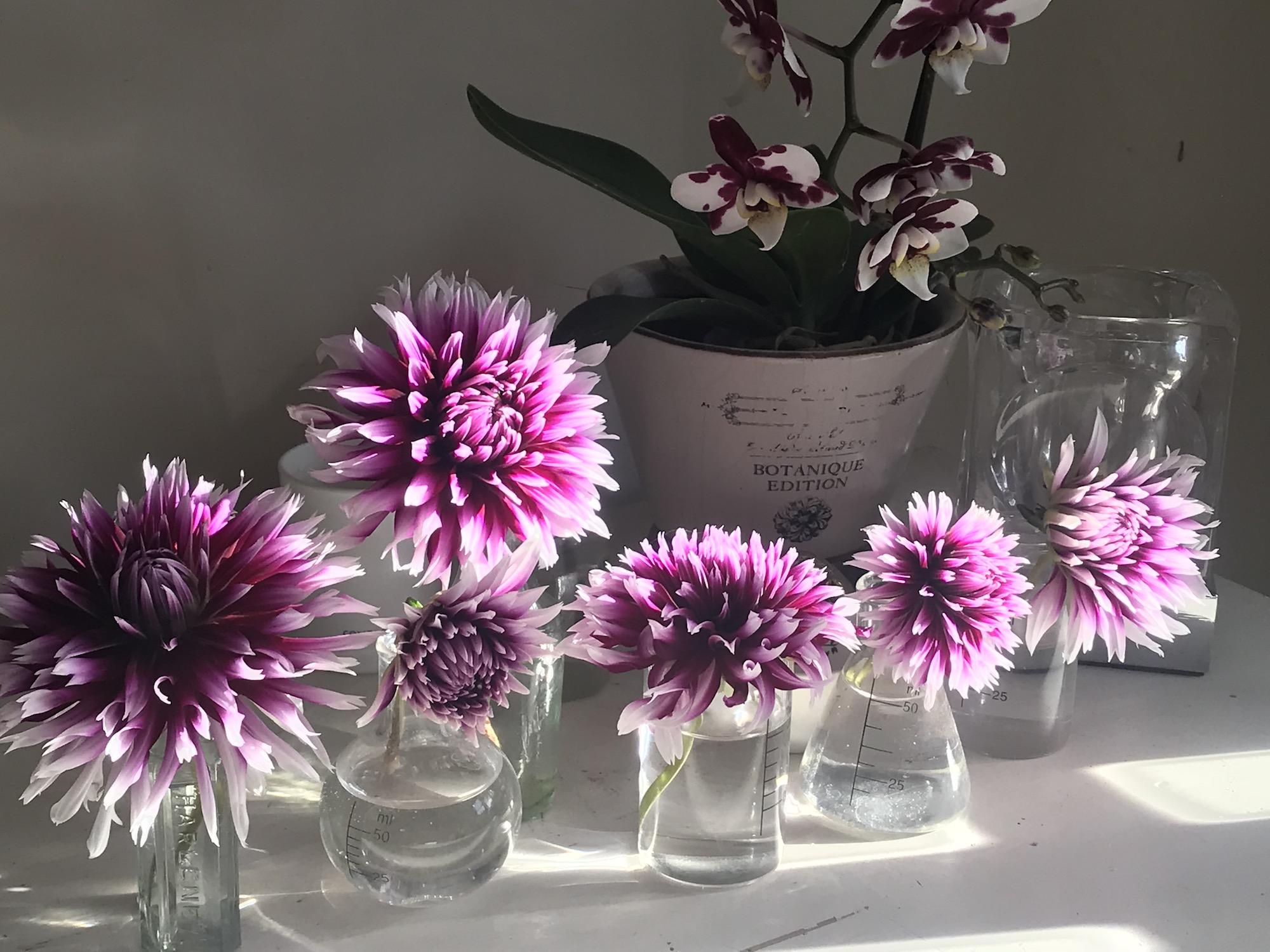 cactus dahlia flower in vases purple and white petals